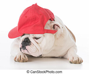 dog wearing red ball cap on white background