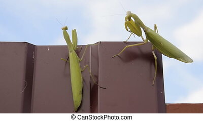 The female and the male praying mantis on a metal fence...