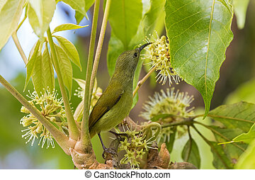 Female Sunbird bird in yellow green with long beak reaching...