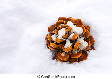 Dried brown pine Conifer cone seed on snow during winter...