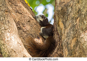Cute Brown Finlayson squirrel with beige cream face and bushy tail resting on tree in afternoon, Bangkok