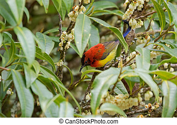 Mrs Gould's Sunbird in orange yellow with metallic tail...