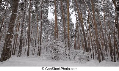 Review of the winter forest. Trees are covered with white...