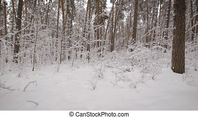Camera moves in a snowy forest with lot of pine trees....