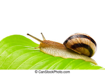 Snail - Big garden snail on a leaf background