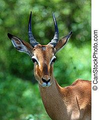 Africa Wildlife: Impala - Young Male Impala Antelope...