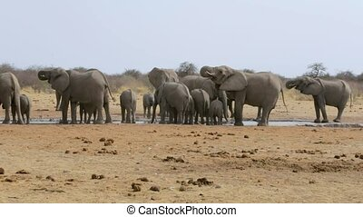 Elephants drinking at waterhole, Hwange, Africa wildlife -...