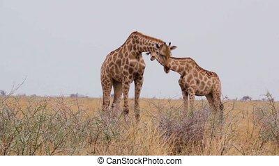 Giraffe grazing, Namibia, Africa wildlife - Giraffe...