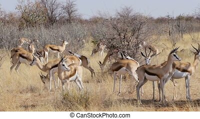 herd of springbok, Africa safari wildlife - resting herd of...