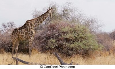 Giraffe grazing on tree, Namibia, Africa wildlife - Giraffe...