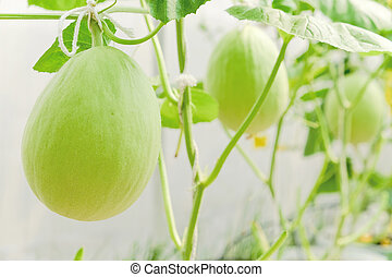 Cantaloupe fruit in plant nursery.