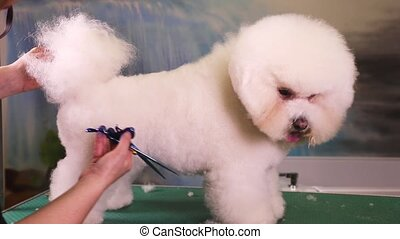 Bichon Frise Grooming at Pet Salon - Dog groomer cuts the...