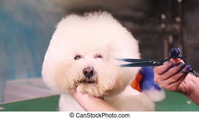 Groomer makes a stylish haircut of Bichon Frise dog -...