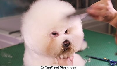 Bichon Frise dog grooming - Groomer using scissors to cut...