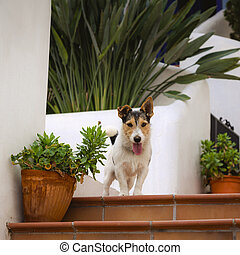 Dog jack russel terrier sitting on the steps near house -...