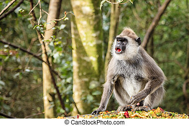 Hanuman Langur at primate rescue center near Plettenberg...