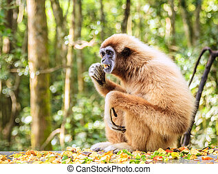 Lar Gibbon - Lar or white-handed gibbon at primate rescue...