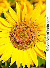 Sunflower close-up - Close up of the sunflower. The common...