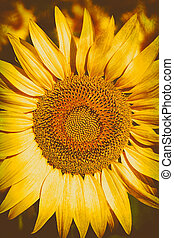 Sunflower close-up - Close-up of a sunflower. The common...