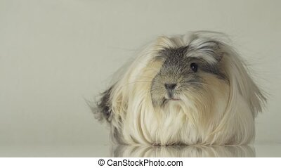 Beautiful guinea pig breed Coronet cavy stock footage video...