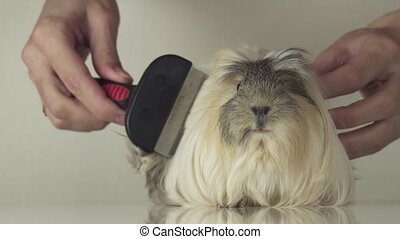 Female hand with brush comb hair of guinea pig breed Coronet...