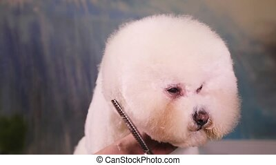 Dog Groomer makes a hairstyle of Bichon Frise - Groomer...