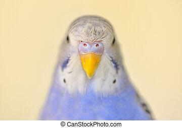 wellensittich,  indigo, papagai