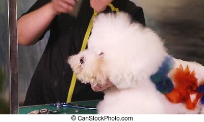 Bichon Frise dog in pet salon - Groomer makes a stylish...