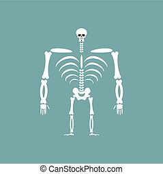 Human skeleton isolated. Skull and Bones. Spine and ribs