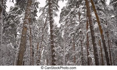 Incredibly beautiful snow-covered tops of pine trees in the forest. Green needles on branches in winter. Camera moves from top to bottom.