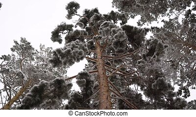 Bottom view of on adult pine. It is high enough, has a dense...