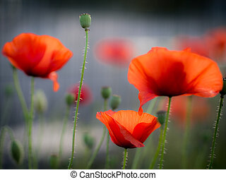 Three Red Poppies with blurred background