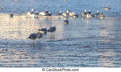 Seagulls sitting on ice