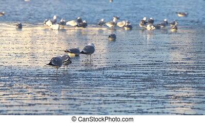 Seagulls sitting on ice