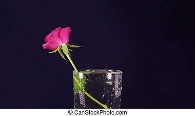 red roses slowly fall in a vase and bouncing, slow motion,