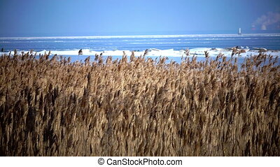 The dry cane waves on a background of the blue sky,