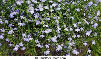 Lobelia flowers swinging on the wind