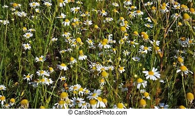 Camomile swinging on the wind