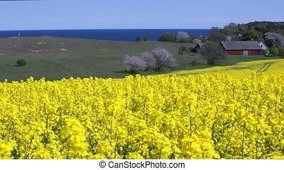 Yellow rapeseed field in Sweden
