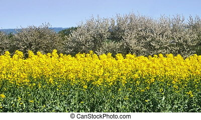 Yellow rapeseed field against blue sky