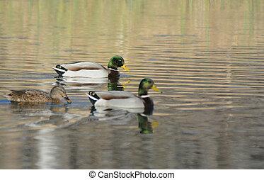 Three Mallard Ducks Swimming On A Pond