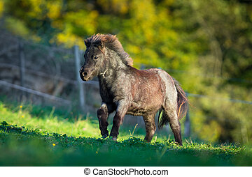 Shetland pony galloping in summer. Small horse running in...