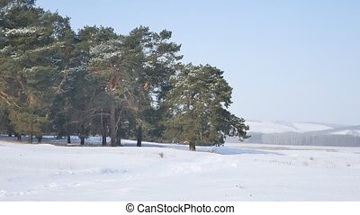 pine forest a lot of snow on the background of blue sky,...
