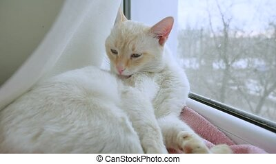 white cat licks clean hair, lying on pet a windowsill at the...