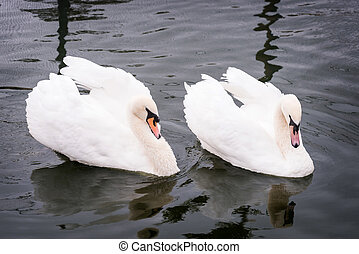 Two swans in lake. Strong bird love