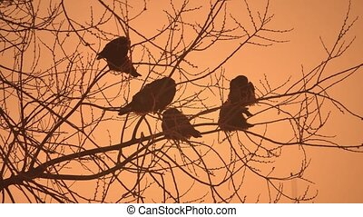sunset crows flock of birds nature sitting on the tree...