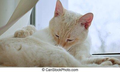 Lameduras, alféizar, Mascota, gato, pelo, limpio, ventana,...