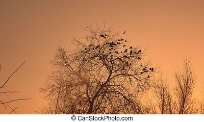 sunset crows flock of birds sitting on the tree winter cold...