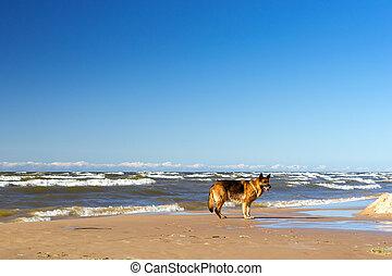 German shepherd on shore Finnish Gulf - German shepherd run...