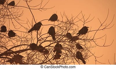 sunset crows flock of birds sitting nature on the tree...
